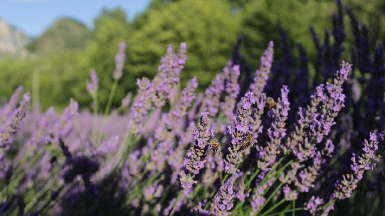 Lavendel & Wohlbefinden